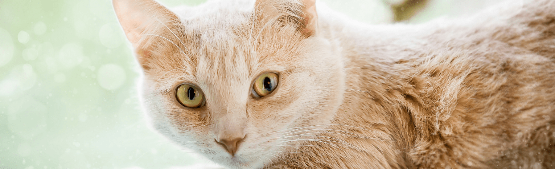 Beige Cat with Beautiful Green Eyes
