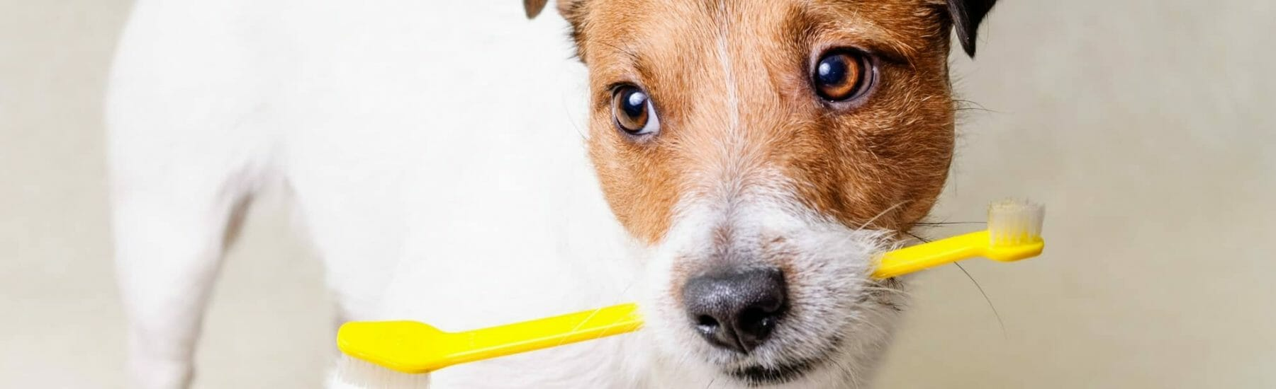 Jack Russell with a Yellow Toothbrush in Mouth