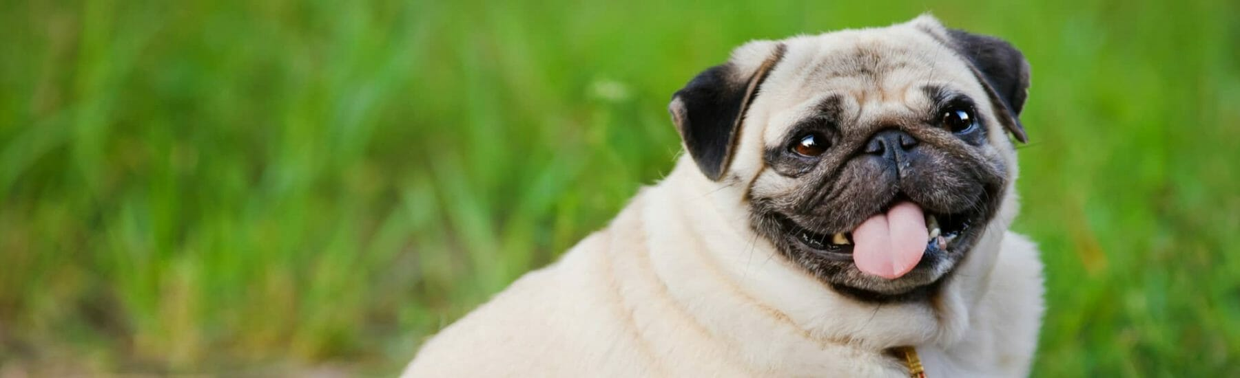 Overweight Pug sitting on the grass