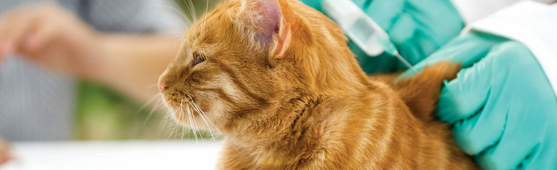 Ginger cat receives a vaccination