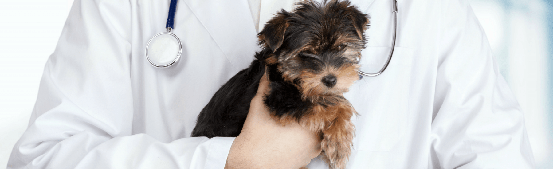 A small Yorkie dog held by a veterinarian