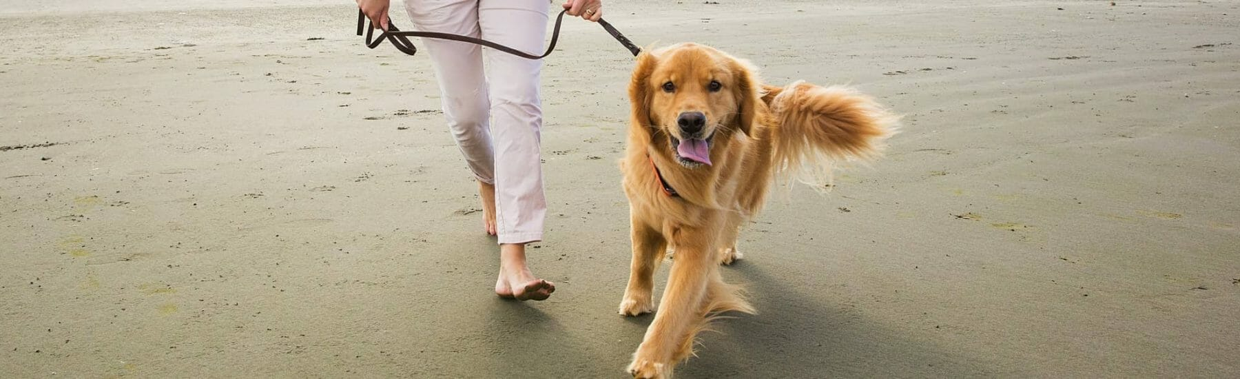 Golden Retriever and Owner walking on a beach