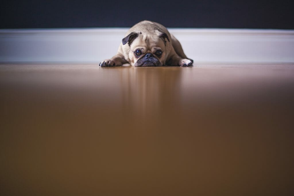 Pug Laying on the Floor Sad